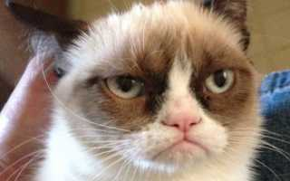 Самый грустный кот (фото): Все о пушистой знаменитости. Самый угрюмый кот в мире станет звездой рекламы Знаменитый грустный кот