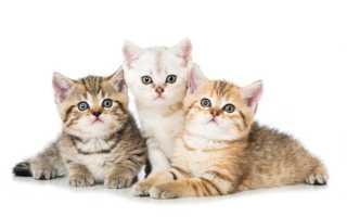 Главные моменты, на которые следует обратить внимание, чтобы правильно выбрать котенка. Как подобрать себе подходящего котенка Как выбрать себе котаДиагностика][