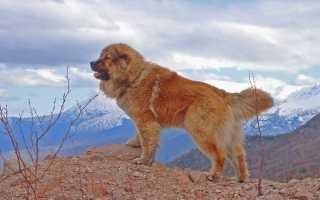 Большие породы собак. Собаки-гиганты: самые крупные породы Самые большие собаки породы название