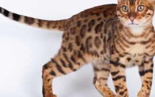 Анатомия и физиология кошки. Биологические особенности кошек