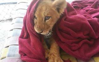 Что спишь вырос что ли. Спасённый львёнок не может спать без одеяла, несмотря на то, что уже вырос