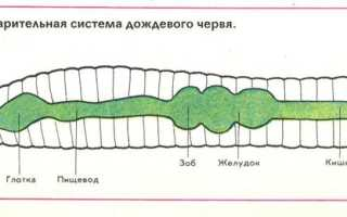 У круглых червей впервые появляется. Тип кольчатые черви или кольчецы У кольчатых червей впервые