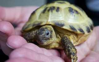 Болезни сухопутных черепах в домашних условиях. Болезни черепах: симптомы и лечение