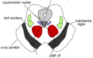 Средний мозг (анатомия человека). Мозговые ножки Правая ножка мозга