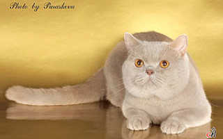 Окрас фавн (бежевый, fawn) абиссинских кошек. Окрас фавн британских кошек Фавн цвет у кошек британских