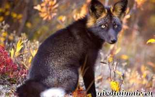 Пятнистая лиса. Самые красивые виды лис в мире. Чёрно-бурая лисица или чернобурка