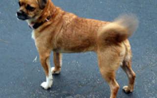 Почему собака не виляет хвостом хозяину. Почему собака виляет хвостом