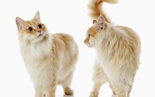 Договор вязки кота за котенка. Вязка породистых кошек: документы. Что из себя представляет договор