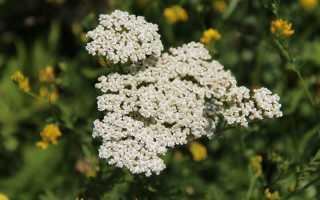 Лекарственные растения, обладающие кровоостанавливающим действием. Кровоостанавливающие травы (сборы) при маточных кровотечениях Какие травы можно пить при кровотечениях