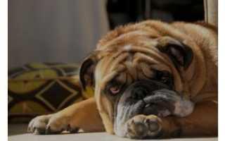 Как лечить у собаки понос с кровью. Причины поноса с кровью у собак