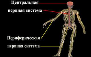 Нервная система человека от А до Я: Структура и Функции. Периферическая нервная система Функции нервов
