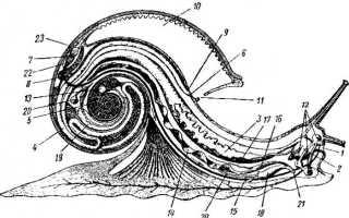 Где находится улитка в ухе. Функции улитка в ухе. Строение систем жизнедеятельности улитки