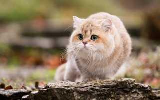 Белый окрас британских кошек (bri w). Окрасы британских короткошерстных кошек — описание, коды Британская короткошерстная кошка коричневая
