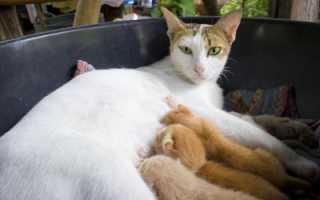 Почему кошка орет после родов. Почему кошка после родов беспокойная и мяукает. Кошка ведет себя беспокойно и ничего не ест