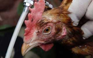 Как уложить осенние вирусы на лопатки. Что нужно знать о гриппе Может ли быть опасно мясо инфицированных вирусом гриппа животных