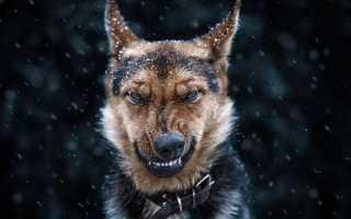 Самые «кусачие» породы собак. Какие породы собак самые кусачие Самые кусачие породы собак топ