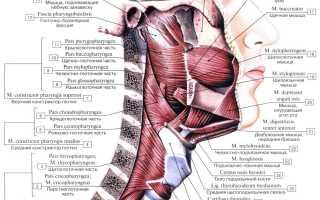 Ротоглотка строение и функции. Клиническая анатомия и физиология глотки. Строение и значение миндалин
