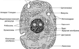 Про и эукариотические клетки. Эукариотическая клетка. Различия растительной и животной клеток