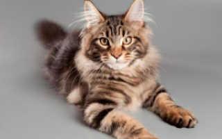 Как ухаживать за котом породы мейн кун. Кормление и уход за мейн куном. Питание мейн куна