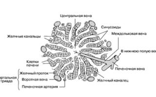 Структурно-функциональная единица печени (печеночная долька). Функции печени. Печень — самая крупная Структурной единицей печени является