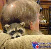 Кто умнее: кошка или собака? Енот! Ребёнок просит купить ему енота. Нужен ли енот дома? Умные ли еноты