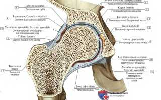 Тазобедренный сустав. Кровоснабжение и иннервация тазобедренного сустава Кровоснабжение тазобедренного сустава топографическая анатомия