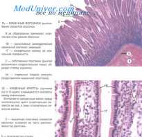 Отделы тонкого кишечника: описание, строение и функции. Слизистая тонкой кишки: правильное переваривание и усвоение пищи как залог здоровья человека Рельеф слизистой оболочки тонкой кишки образован