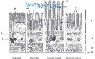 Общий план строения пищеварительной трубки. Пищеварительная система. Общая характеристика, развитие, оболочки пищеварительной трубки. Развитие и общий план строения пищеварительной трубки