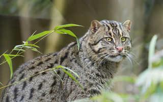 Крапчатый кот. Кошка-рыболов, крапчатая кошка, или рыбьяНа растения][
