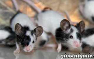 Маленькие декоративные мышки. Где живут мыши в дикой природе? Разновидности: мышка мышке рознь