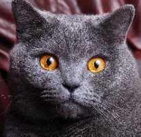 Британская кошка. Описание кошки британской породы Все о британских котятах