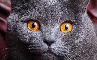 Британская голубая описание. Британский кот характеристика породы. Здоровье и болезни британцев