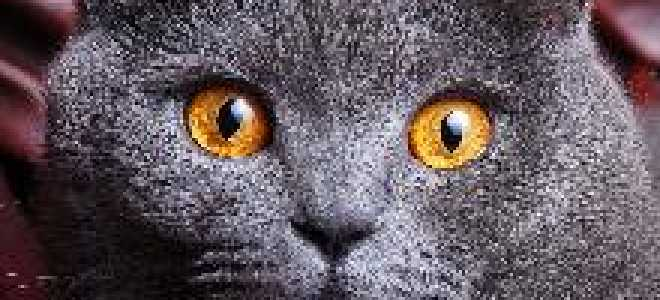 Как ведут себя британские кошки. Кошки британской породы: характеристика, окрас, описание стандарта. Уход за британской короткошерстной кошкой