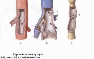 Характеристика артерии и вены. Артерии и вены нижних конечностей. По обеспечению движения крови