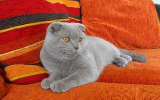 Почему британцы не ласковые. Британская вислоухая кошка и вислоухие британские котята, британцы. Основные черты характера британской кошки