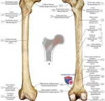 Где находится бедренная кость. Большой вертел бедренной кости: анатомия. Форма и строение
