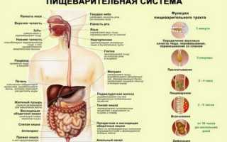 Как усваивается пища в организме человека. Пищеварение и его роль в построении фигуры