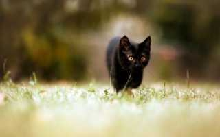 Интересные клички для черных котов. Имена для черных кошек со значением. Как назвать черного кота с белой грудкой интересным именем