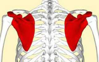 Плечевой отросток лопатки. Лопатка человека: анатомия и строение. Дефекты развития лопатки