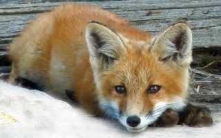 Хочу лису: можно ли держать лисицу дома и сколько это стоит? О лисах как домашних питомцах Как содержать домашнюю лису
