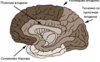 Что такое извилины головного мозга. Борозды и извилины. Борозды и извилины нижней поверхности коры