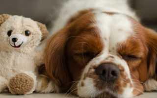 Собачка похожая на медвежонка. Какие есть породы собак, похожих на медвежонка. Малая львиная собака