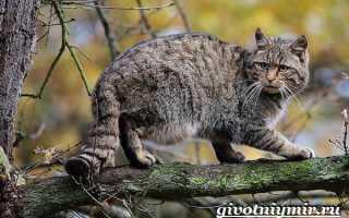 Дикая кошка в средней полосе. Лесной кот: образ жизни европейской дикой кошки. Социальная структура и размножение