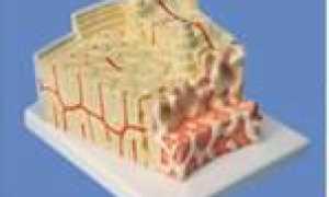 Строение скелета человека. Скелет человека: все о костях детям Конспект на тему скелет человека небольшой