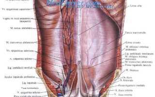 Особенности строения мышц передней брюшной стенки. Где находится и как устроена передняя брюшная стенка. Между складками брюшины располагаются ямки