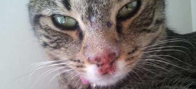 Ринотрахеит симптомы. Инфекционный ринотрахеит — герпес у кошек. Возможные осложнения герпеса