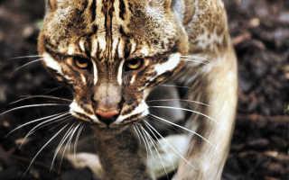 Золотистая кошка. Аммания сенегальская Золотистая кошка