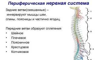 Заболевания периферической нервной системы. периферические образования нервной системы обеспечивают связь между цнс и всеми другими органами и тканями