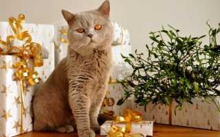 Британская короткошёрстная кошка лилового окраса. Что значит лиловый кот. Отступления от стандарта