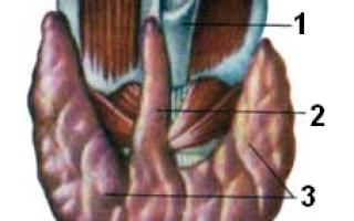 Околощитовидные железы. Гистология щитовидной железы: как проходит, расшифровка результатов. Строение и функции щитовидной железы Источник развития главных клеток околощитовидной железы
